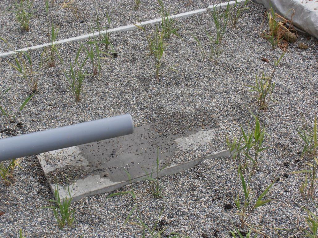 Zoom sur les roseaux des filtres plantés